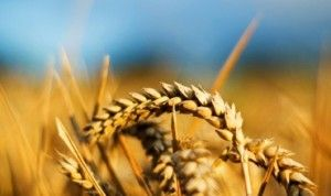 В Молдове зарегистрированы рекордные темпы роста цен на зерно.